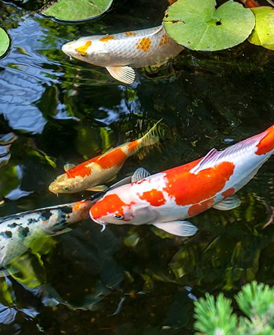 Vijver aanleggen met vijverfolie wildkamp for Vissen vijver